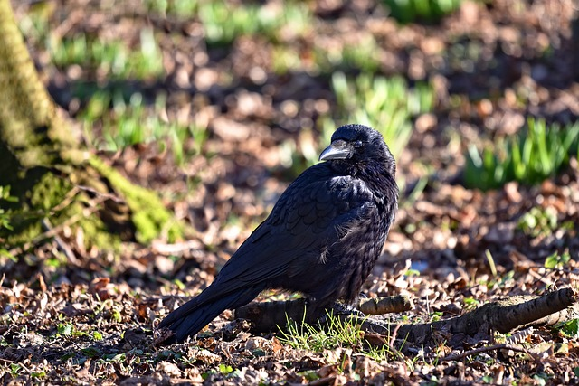 A crow on the ground